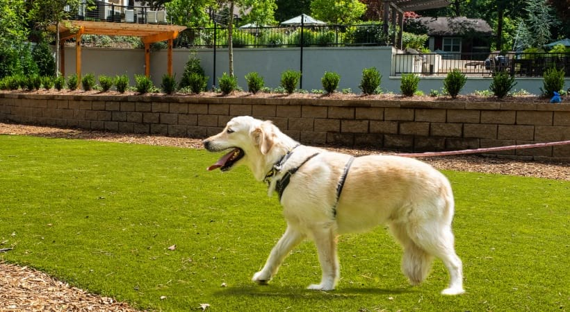 A dog walking around the leash-free bark park at our pet friendly apartments in Cobb County